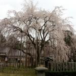 足羽山の桜と蕎麦屋(茶屋)